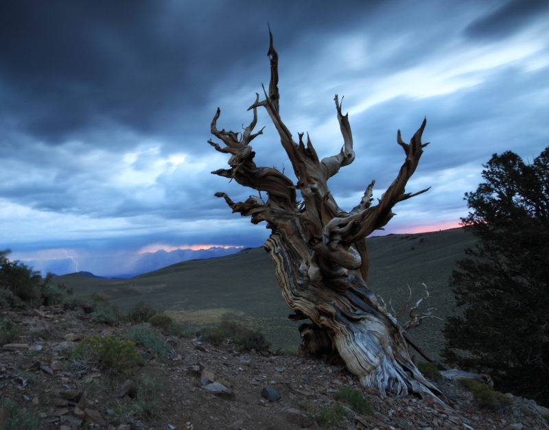 Bristlecone Pine With Lightning