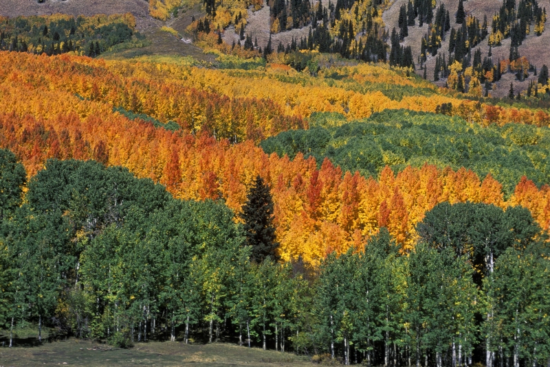 La Sal Aspens And Lone Pine