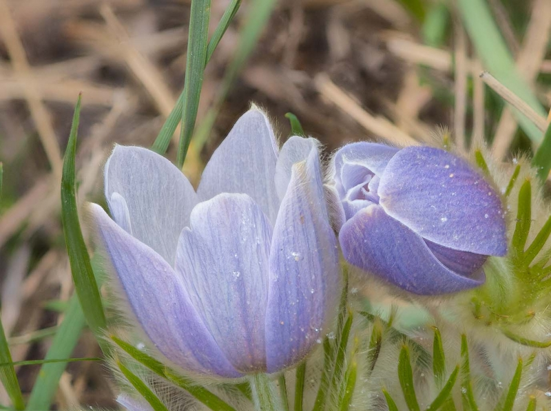 Pasque Flower Macro