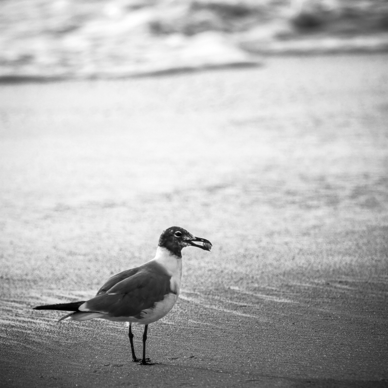 Gull With Sand Crab