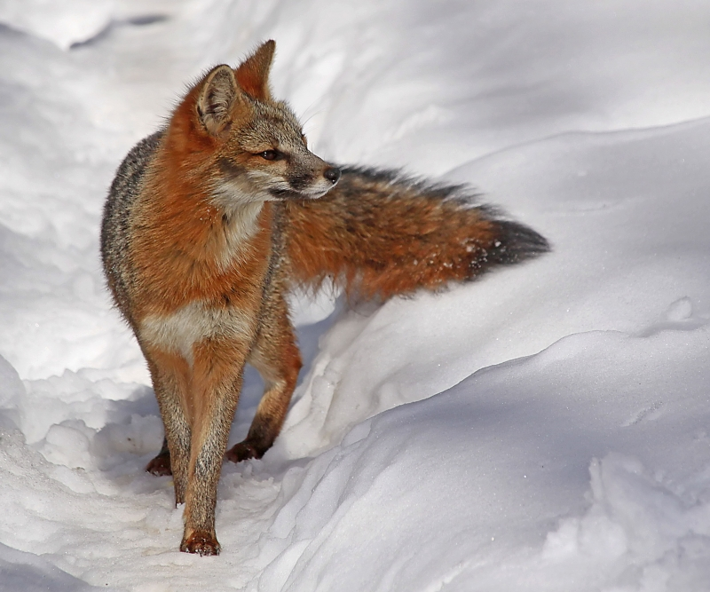 Gray Fox In The Snow
