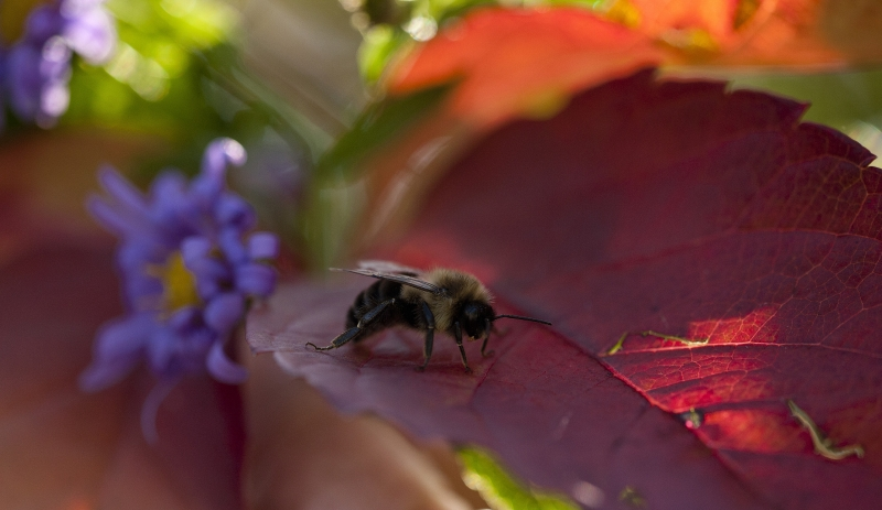 Bumble Bee Resting