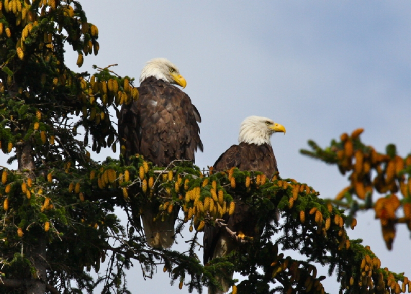 Two Bald Eagles.