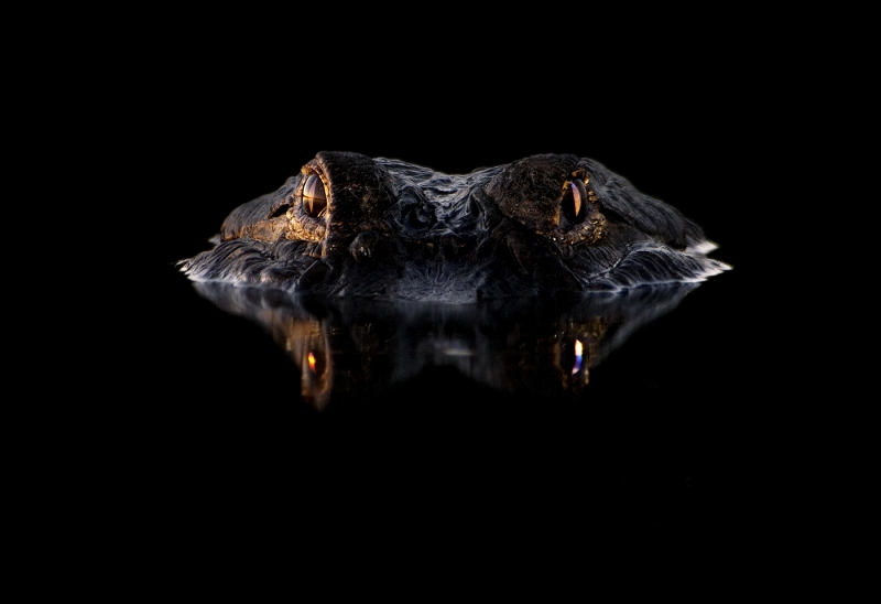 American Alligator At Night