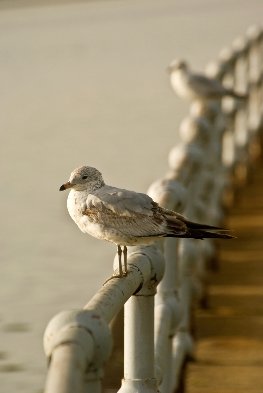 Seagull On The Gate