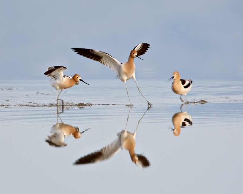 Avocet Altercation