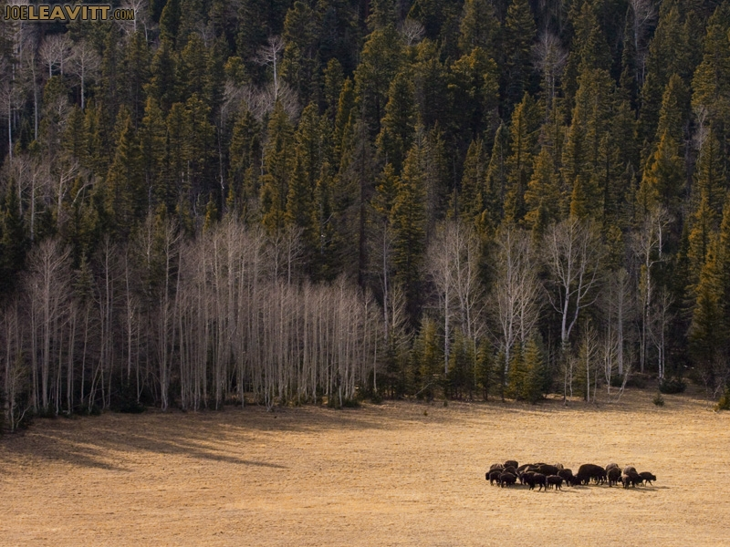 Bison Of Kaibab National Forest