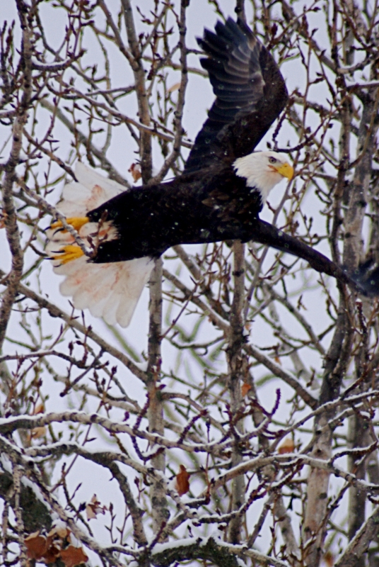 Coldstream Ranch Bald Eagle