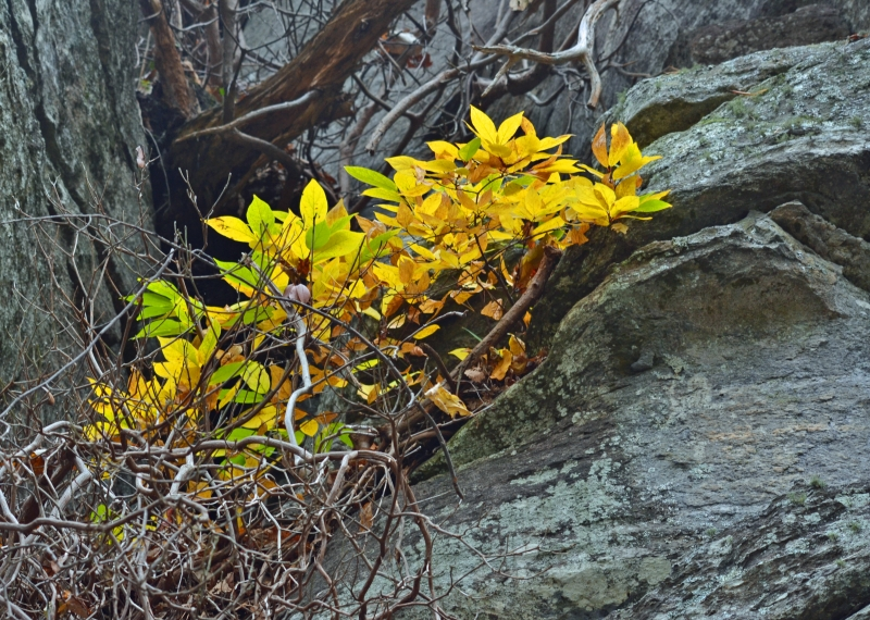 Yellow Leaves On Rock Face