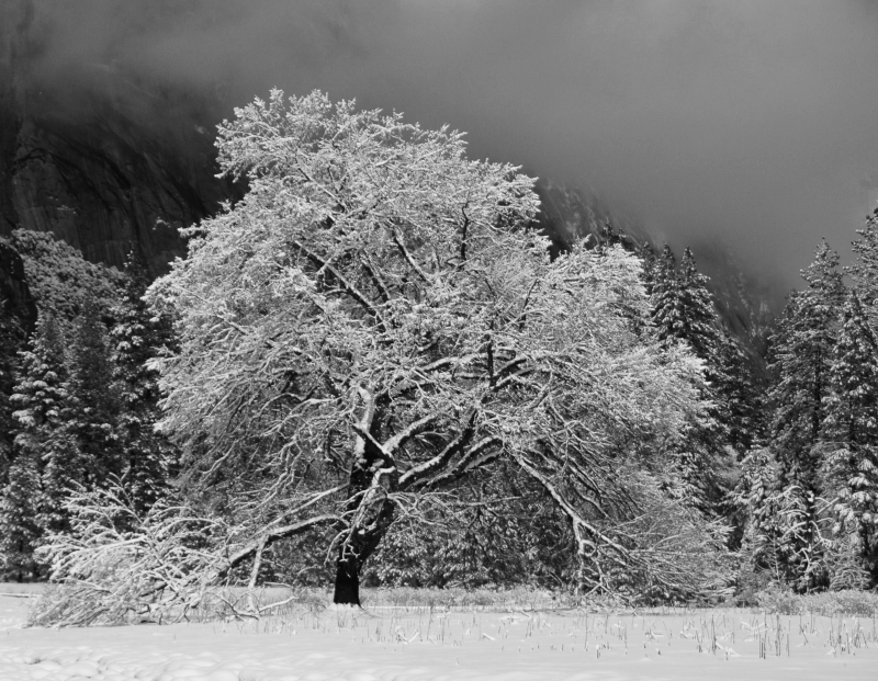 Winter's Tree   Cook's Meadow  Yosemite
