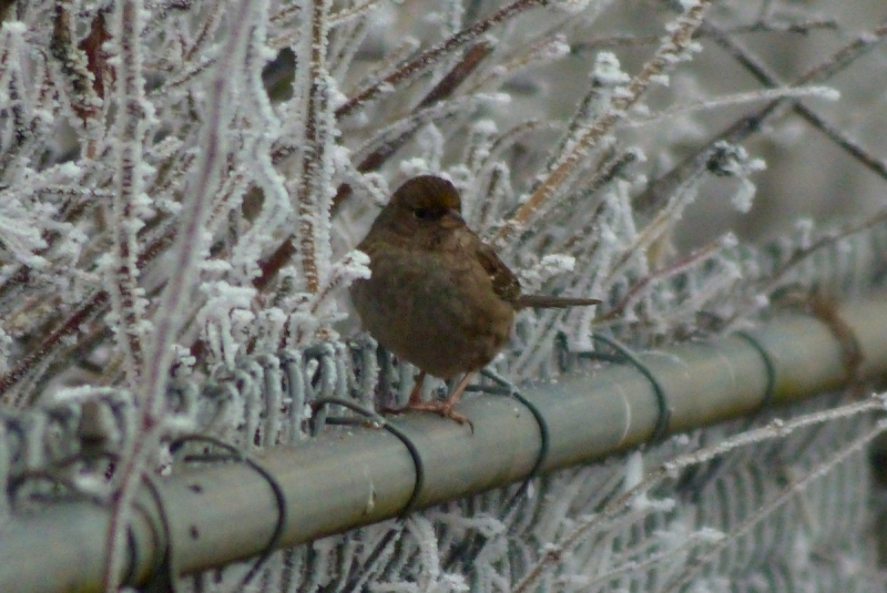 Golden Crowned Sparrow In Its Own  Frozen Landscape