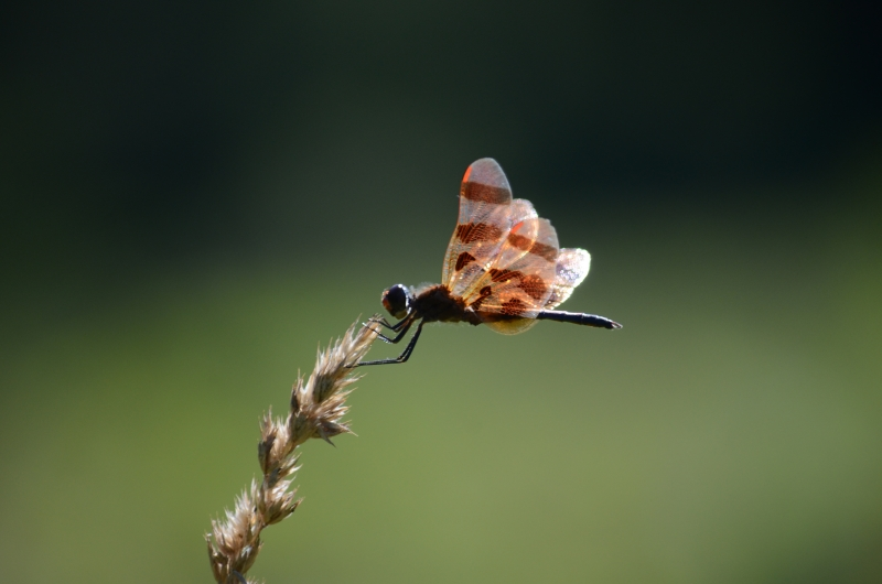 Dragon Fly On Blade Of Grass