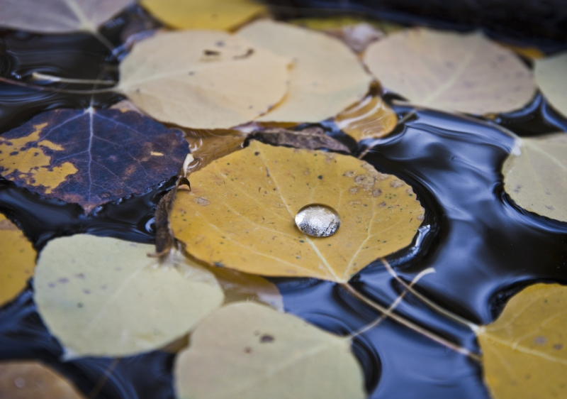 Aspen Leaves With Drop Of Water