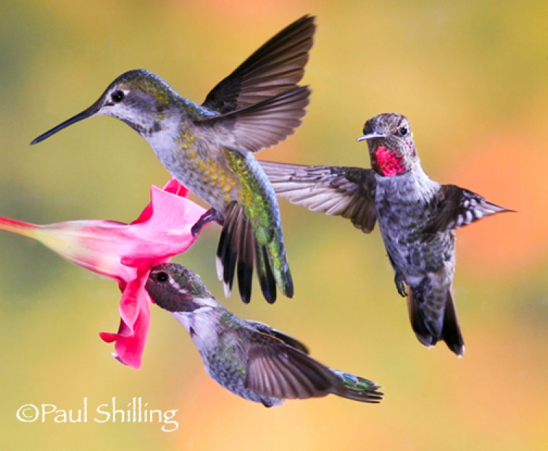 Hummingbird_trio