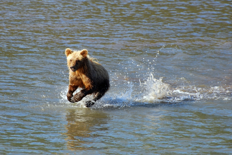 Grizzly Bear Cub Fishing
