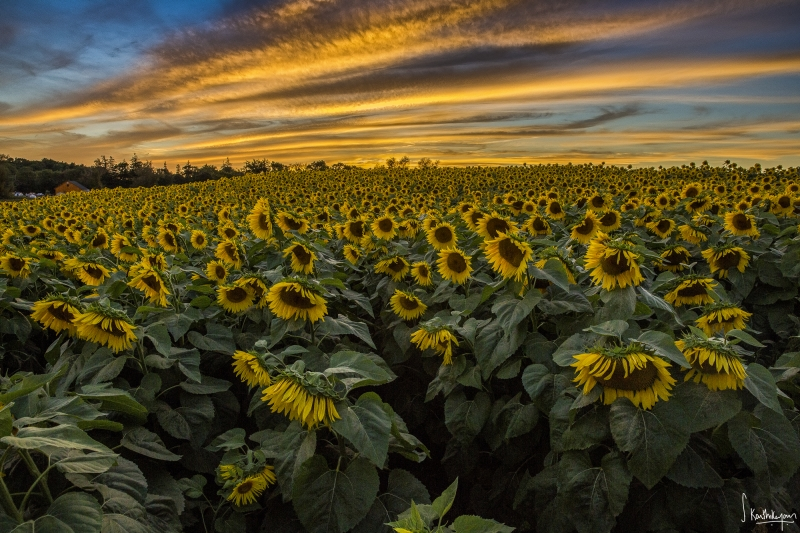 Sunflower And Sunset In Fall