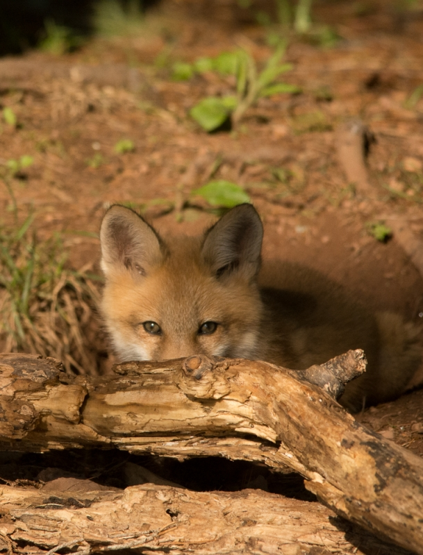 Peekaboo Fox Kit