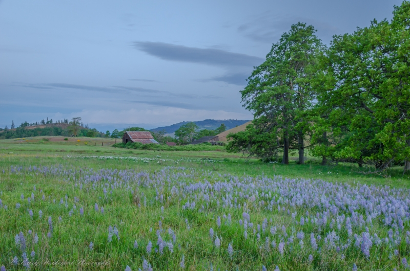 Oregon Landscape With Camas And Daffodils