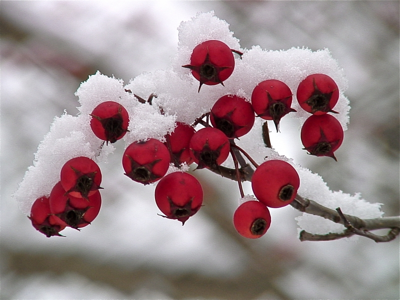 Chilly Berries