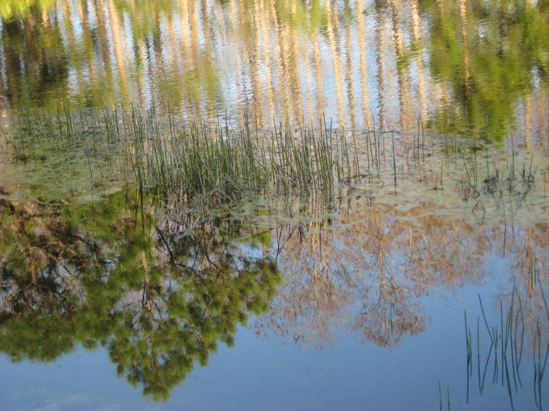 Reflection Of Trees