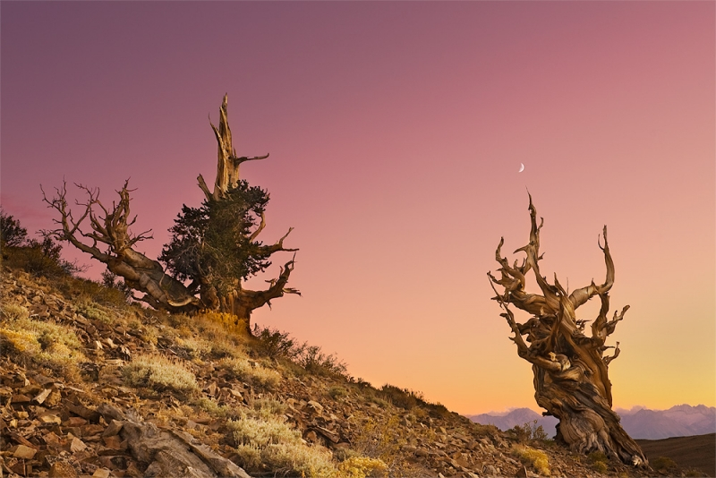 Bristlecone Twilight