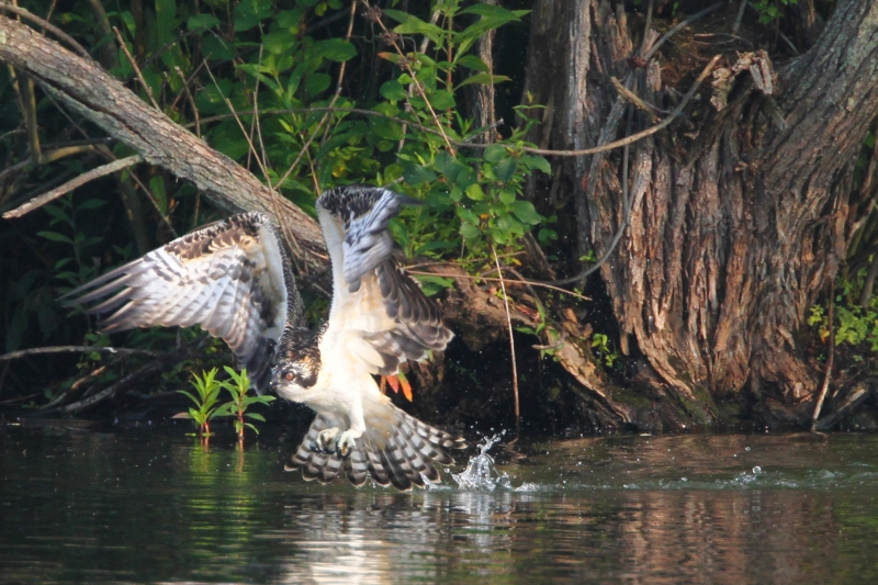 Young Osprey Practicing Fishing Skills