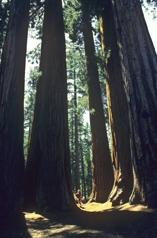 Young Girl And Sequoia Trees