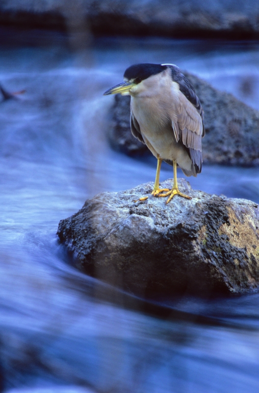 Standing Still (black Crowned Night Heron)