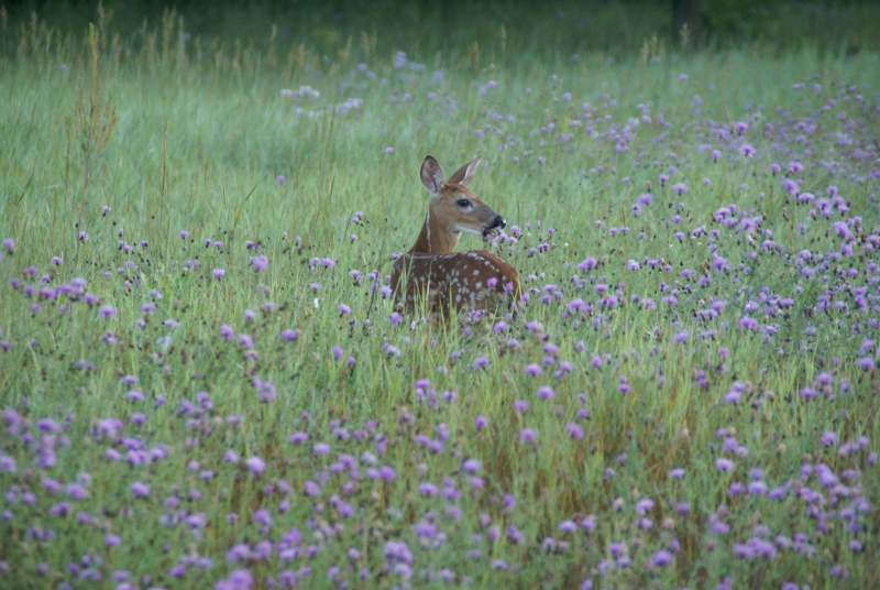 Fawn Eating Flowers
