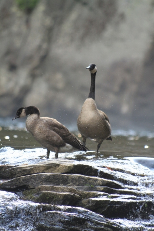 Geese By The Falls
