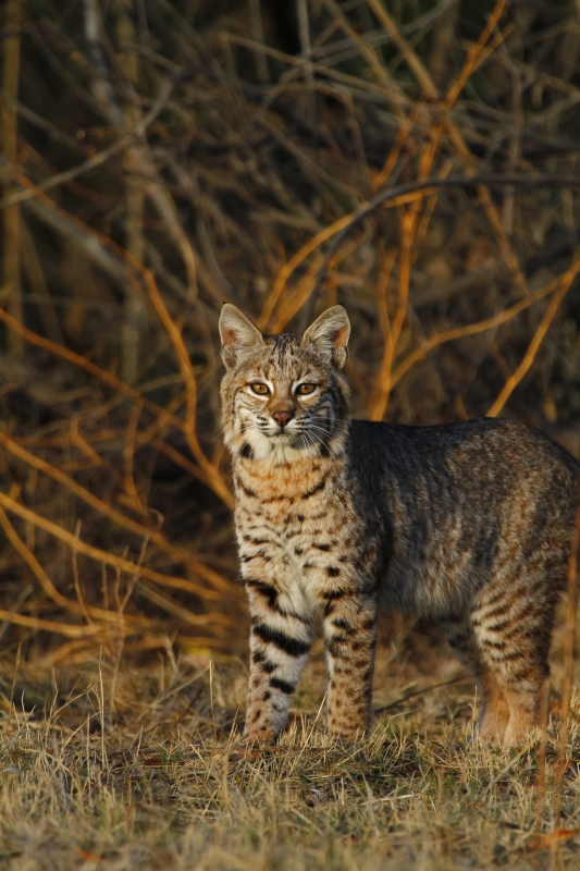 Morning Bobcat