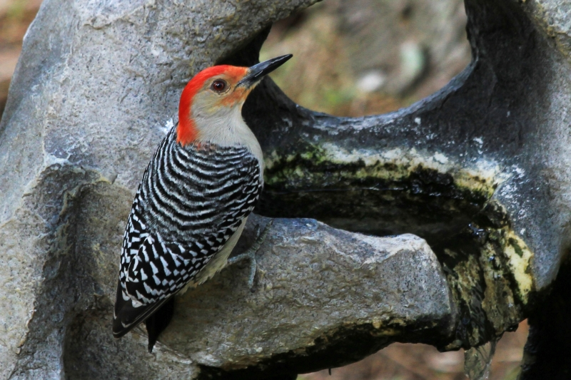 Florida Red-bellied Woodpecker
