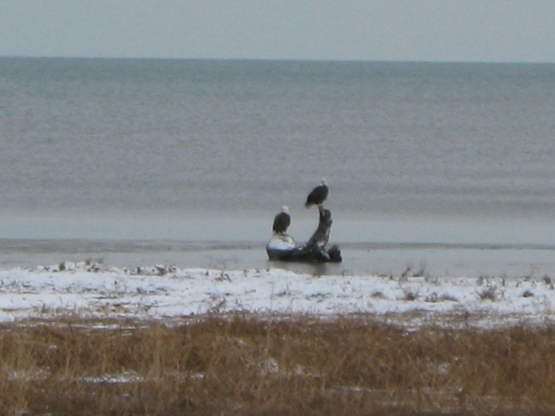 Eagles Sitting On A Log On A Beach On Lake Huron