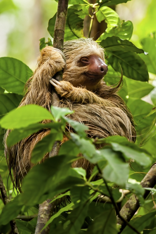 Smiling Two-toed Sloth