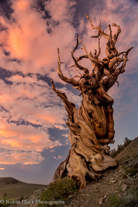 Twisted Bristlecone Sunset (white Mountains)