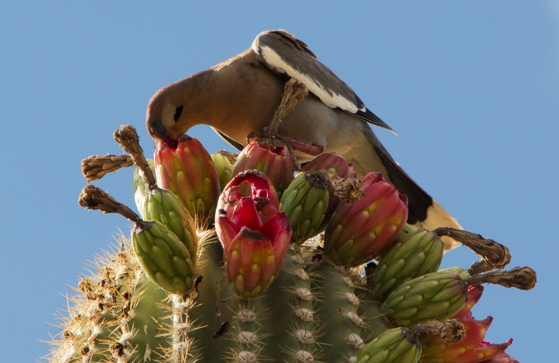 Dove Lunching On A Saguaro Cactus Fruit