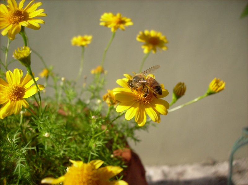 Bee And Yellow Flowers7