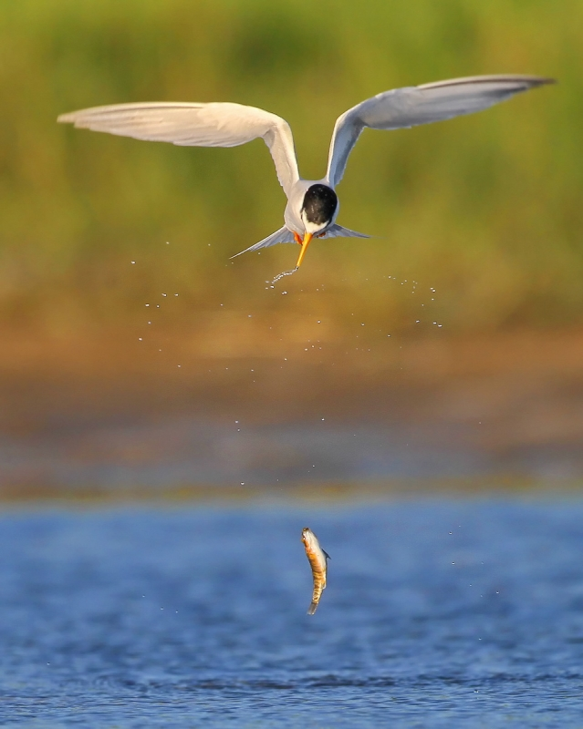 Least Tern Dropping Fish