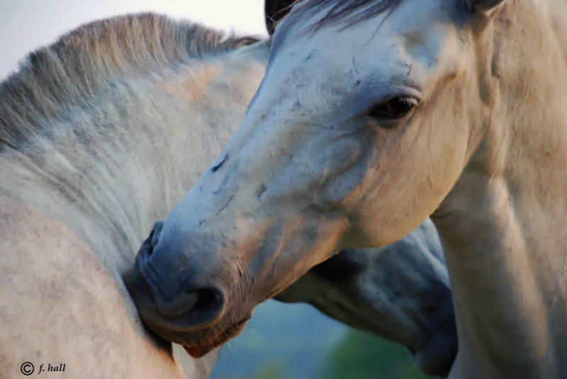 Andalusian Mares