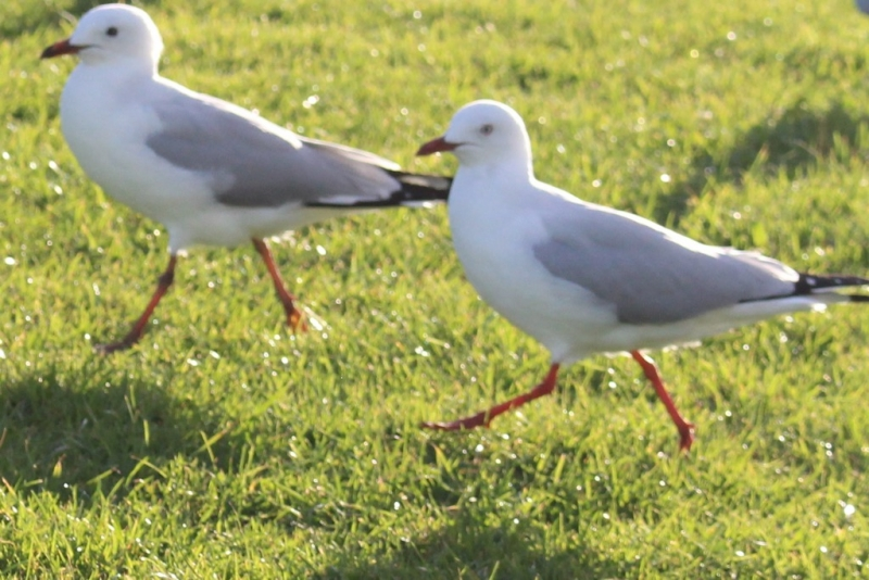 Double Seagull