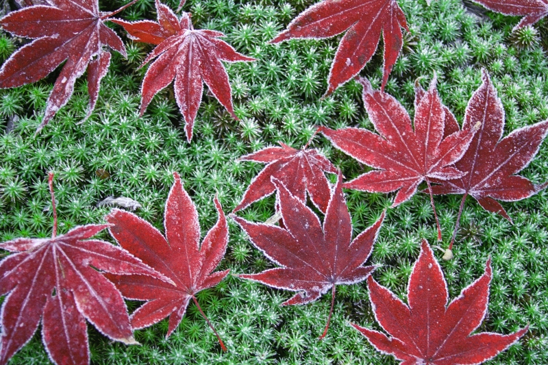 Frosty Leaves And Moss