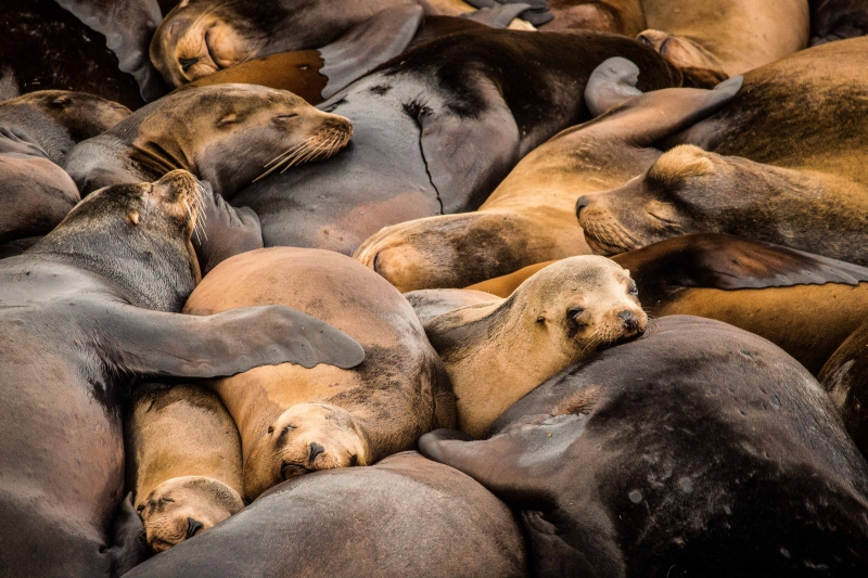 Sea Lion Siesta