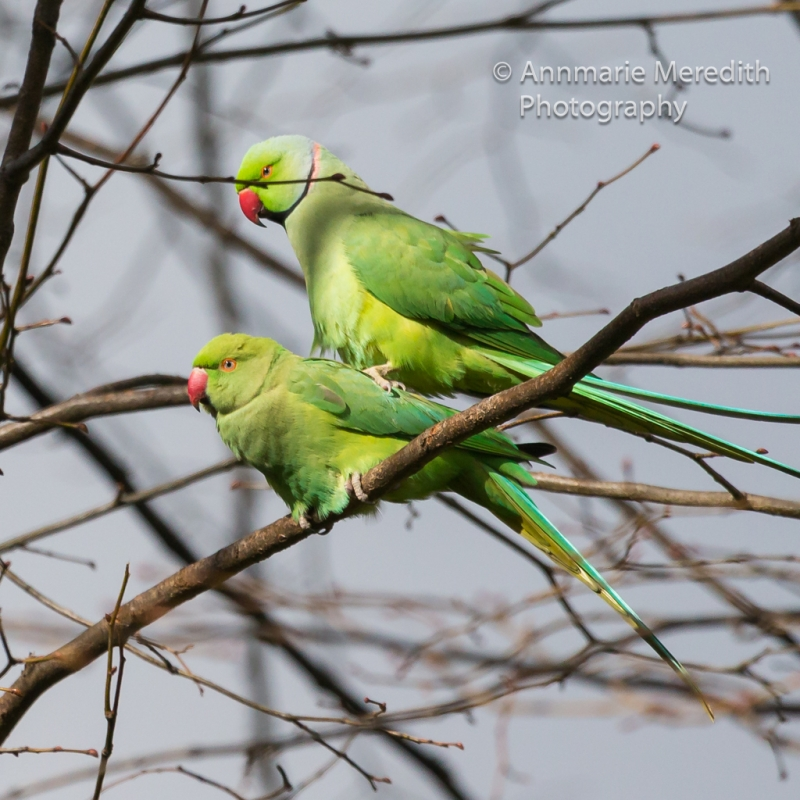Mating Ring-necked Parakeets