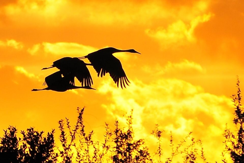 Sunset Silhouette Of Sandhill Cranes