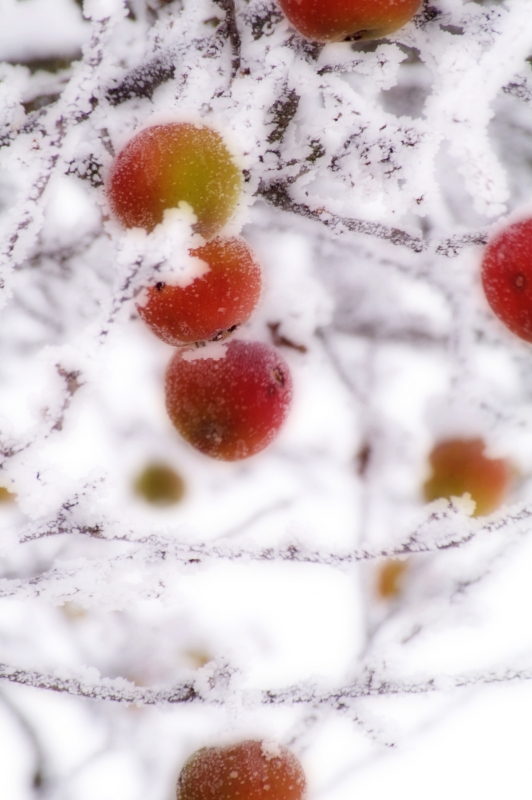 Apple Frost Trees