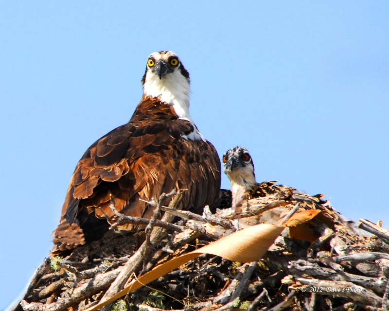 Adult Marco Island Osprey And One Offspring