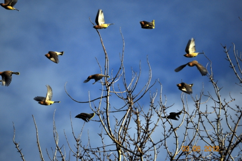 Flock Of Cedar Waxwing