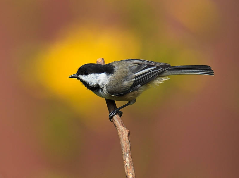Black Crowned Chicadee