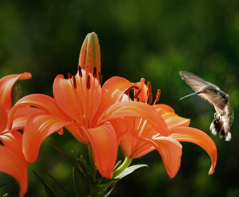 Tiger Lily And  Hummingbird