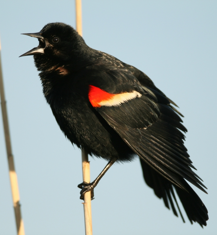 Red-winged Blackbird, Male Singing And Displaying